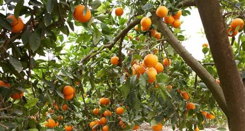 imagen-naranjo-finca-